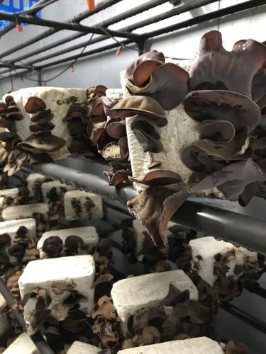アラゲキクラゲ栽培品種「菌興AP1号」のご紹介